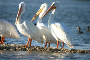 Water-birds-in-Seabrook-Texas